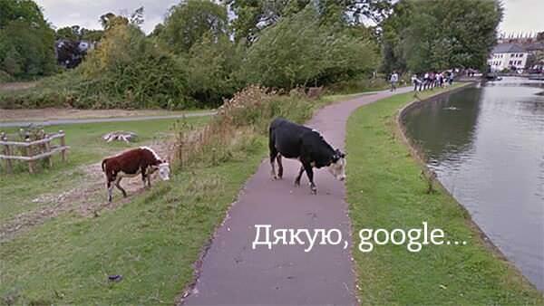 Google захистить права корів на конфіденційність