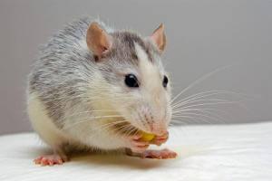 Життя Вчені зістарили мишу, а потім повернули їй молодість медицина новина сша у світі