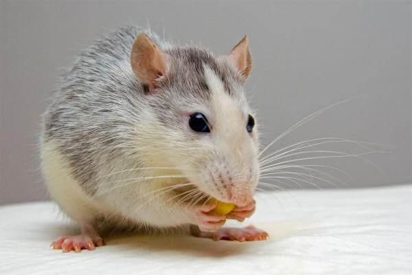 Вчені зістарили мишу, а потім повернули їй молодість