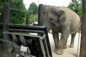 Життя Виявилось, що азійські слони вміють рахувати африка наука новина у світі японія