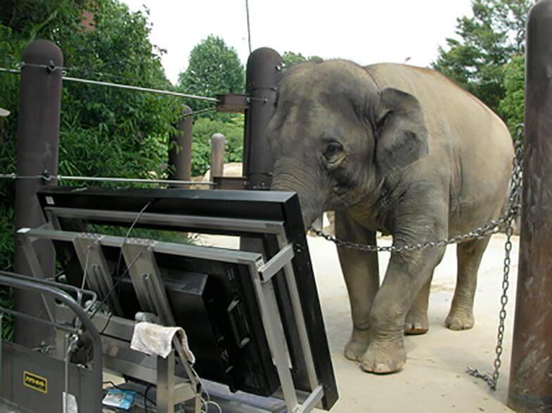 Виявилось, що азійські слони вміють рахувати