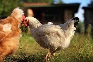 Технології У США змогли виростити повноцінне м'ясо з курячого пера Їжа новина сша у світі