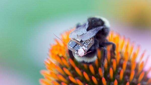 Як джмелі з GPS-трекерами досліджують популяцію бджіл