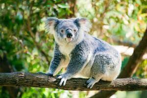 Життя Як в Австралії рахують коал за допомогою дронів дрон новина у світі