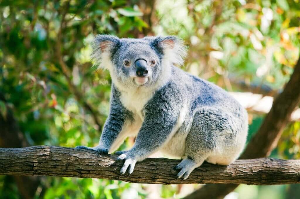 Як в Австралії рахують коал за допомогою дронів