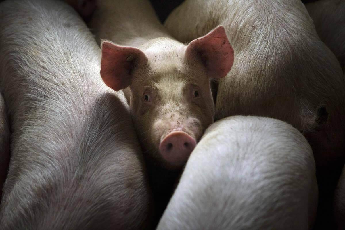 Вчені відновили роботу мозку свині через 4 години після її смерті