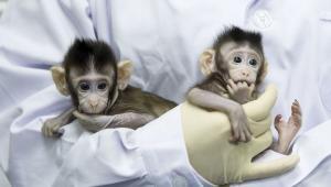 Технології Учені вживили мавпам людський ген, важливий для розвитку мозку кнр наука новина сша у світі