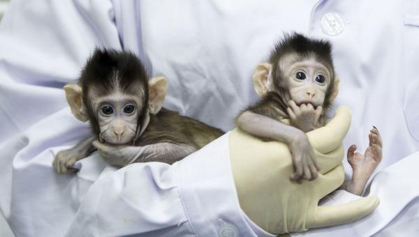 Учені вживили мавпам людський ген, важливий для розвитку мозку