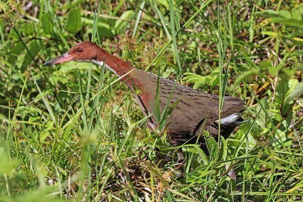 Цілий вид птахів вимер 136 тисяч років тому, а потім «воскрес»