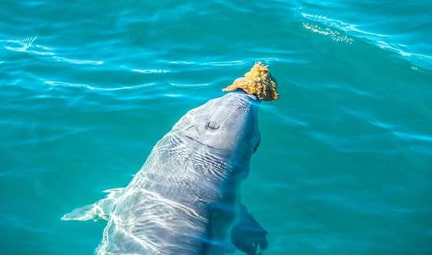 Дельфін під водою використовує губку як маску, щоб глибше пірнати.