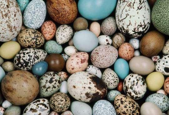 Життя Не просте, а… теплоощадне. Чому пташині яйця різного кольору? новина природа у світі
