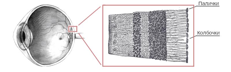 Будова фоточутливого шару сітківки людського ока.