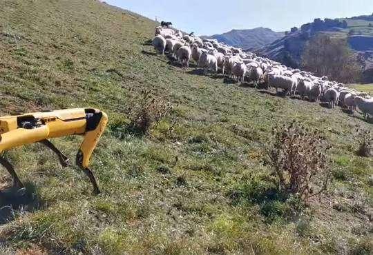 Технології Boston Dynamics створили робота-пастуха новина роботи технології