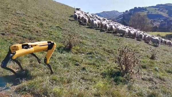 Boston Dynamics створили робота-пастуха