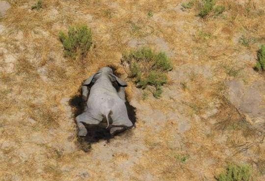 Життя В Африці з невідомих причин гинуть сотні слонів африка біологія стаття тварини