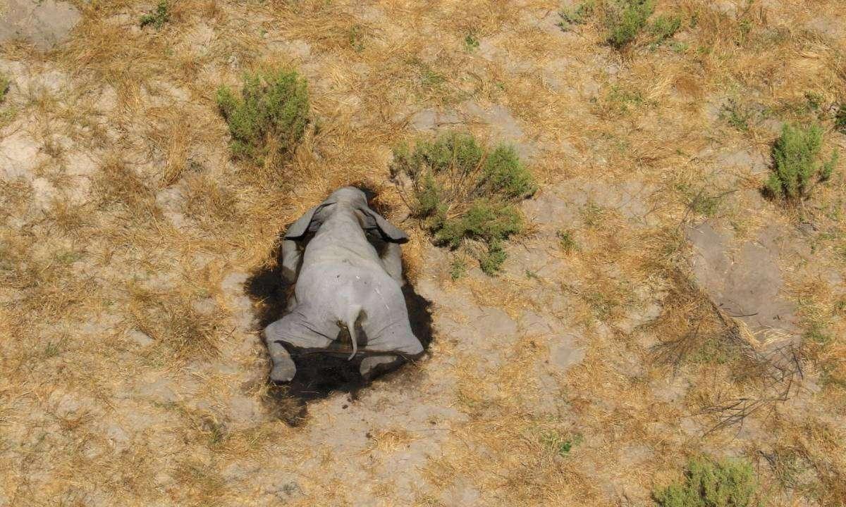 В Африці з невідомих причин гинуть сотні слонів