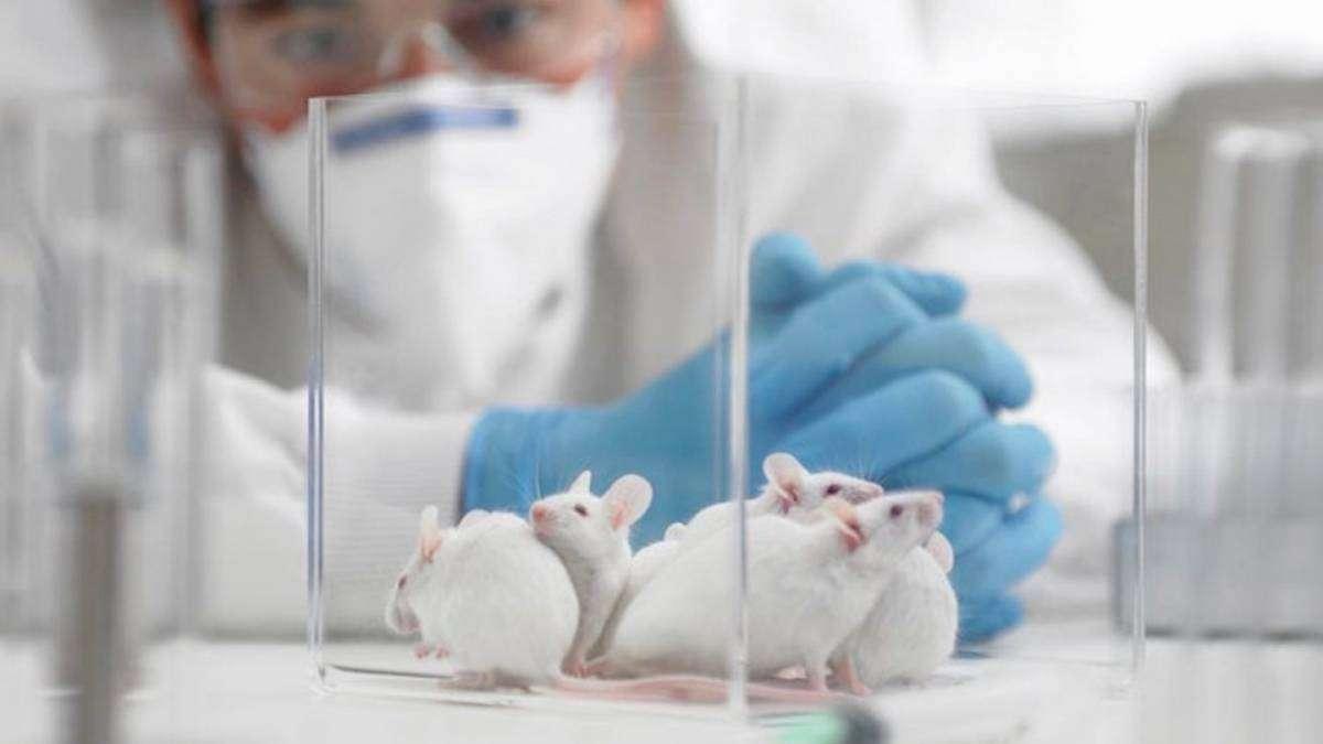 Як тварини допомагають науці зрозуміти COVID-19