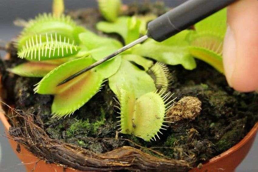 Як анестезія діє на рослини та чому це важливо