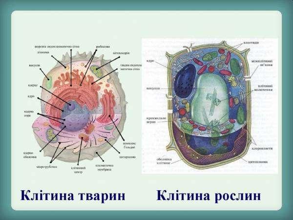 Клітини рослин і тварин