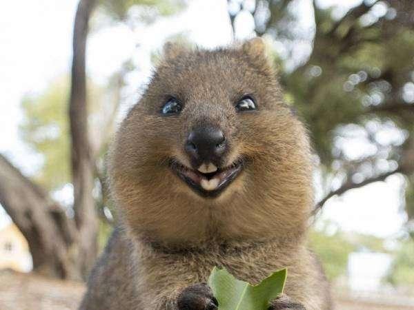 Квоки, які живуть у Західній Австралії вважаються найщасливішими тваринами у світі