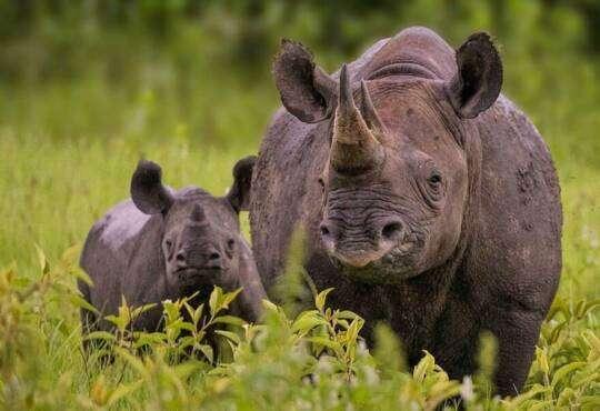 Технології Додаток відстежуватиме рідкісних чорних носорогів за їхніми слідами додаток природа стаття технології