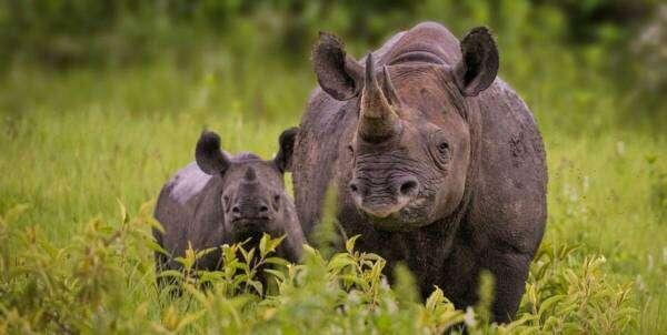 Новий додаток відслідковує рідкісних чорних носорогів за їхніми слідами
