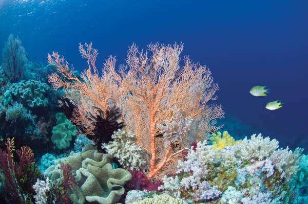 Як водорості та корали рятують риб від аномальної спеки