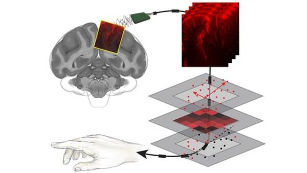 Діаграма ілюструє, як новий тип ультразвуку використовується для зображення тім'яної частки приматів. Нейронна активність, показана в цих зображеннях мозку, була згодом декодована за допомогою алгоритму.