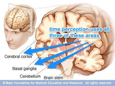 За наше сприйняття часу відповідає кора головного мозку, його стовбур та базальні ядра