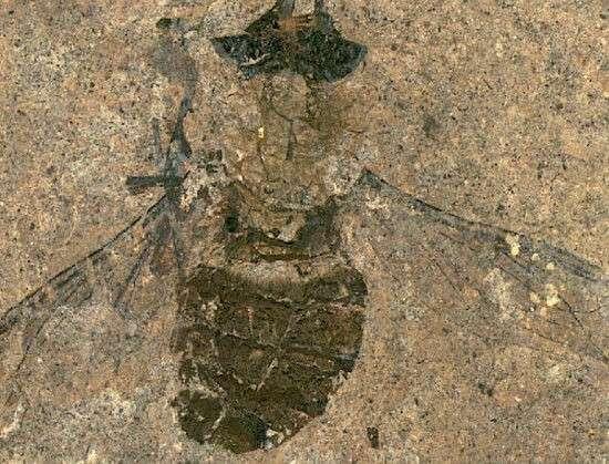 Життя Вчені знайшли скам'янілу муху віком 47 млн років із набитим пилком черевцем європа історія німеччина новина тварини