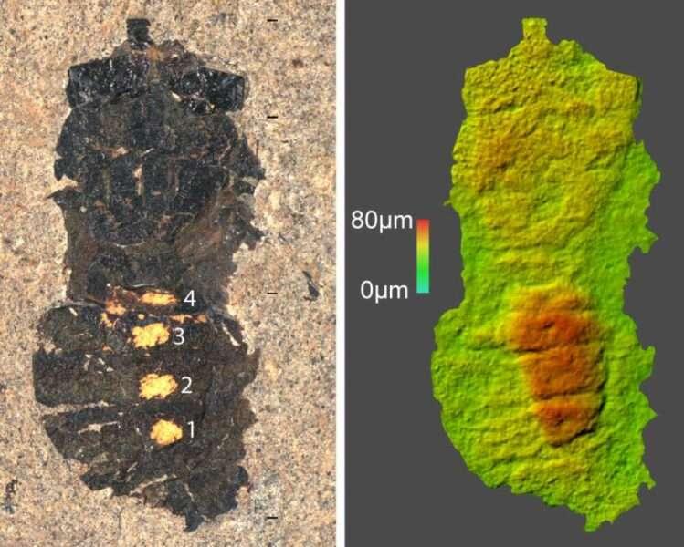 Пилок всередині скам'янілої мухи