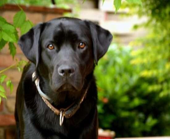 Життя Синдром чорного собаки: правда чи міф статистика стаття тварини