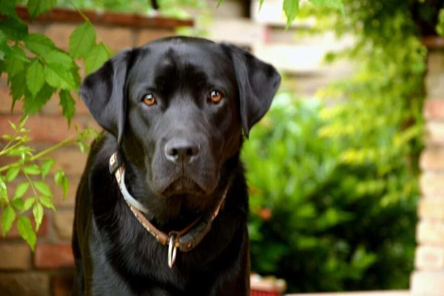 Синдром чорного собаки: правда чи міф